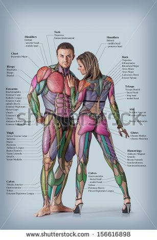 Anatomy of male and female muscular system - anterior posterior view ...