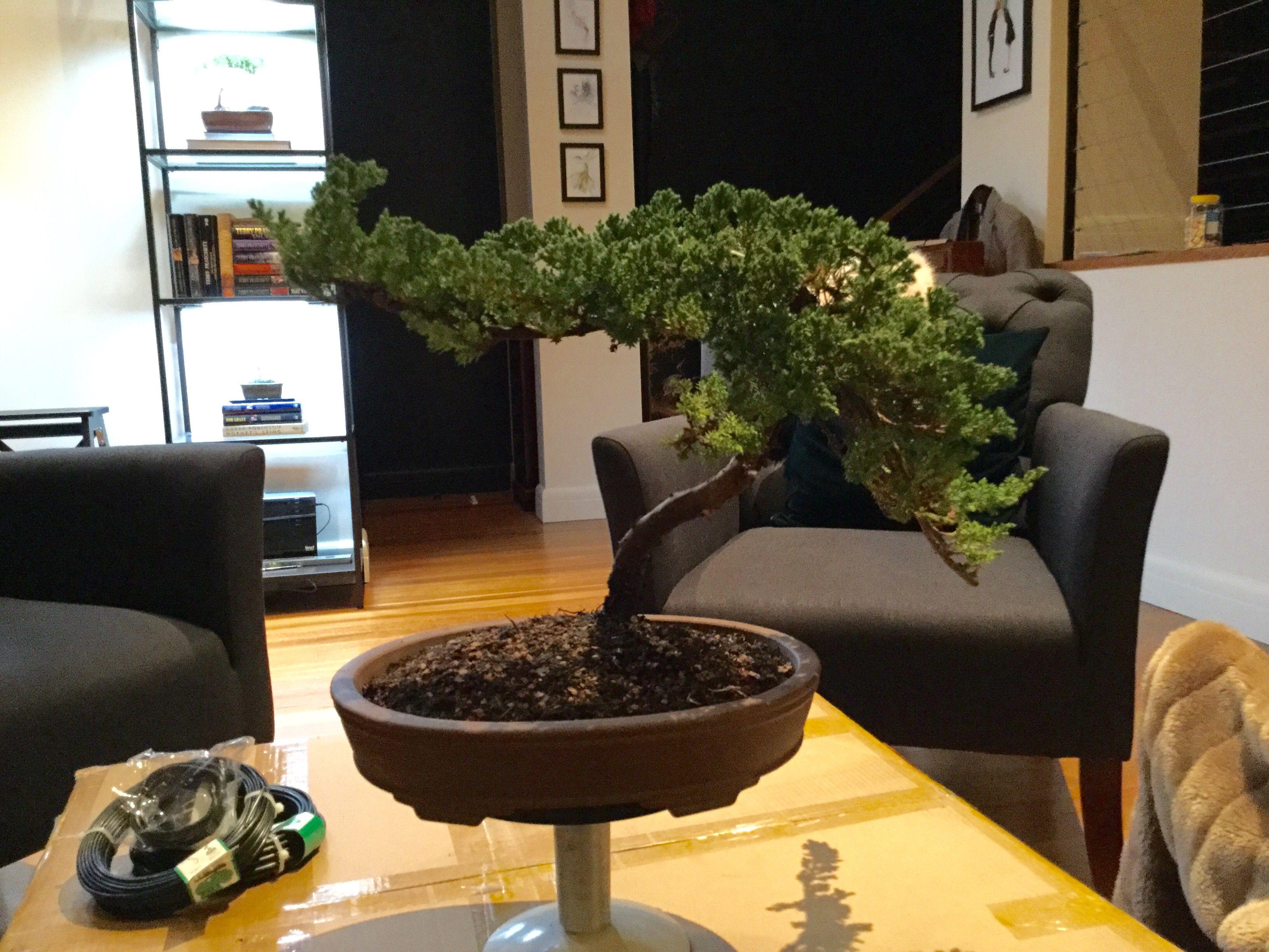 Large Juniper 1 After Potting Pre Wiring 12 06 2016 Bonsai Tree Trees
