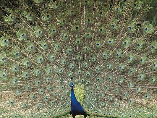 Peacock is the national bird of India and the provincial