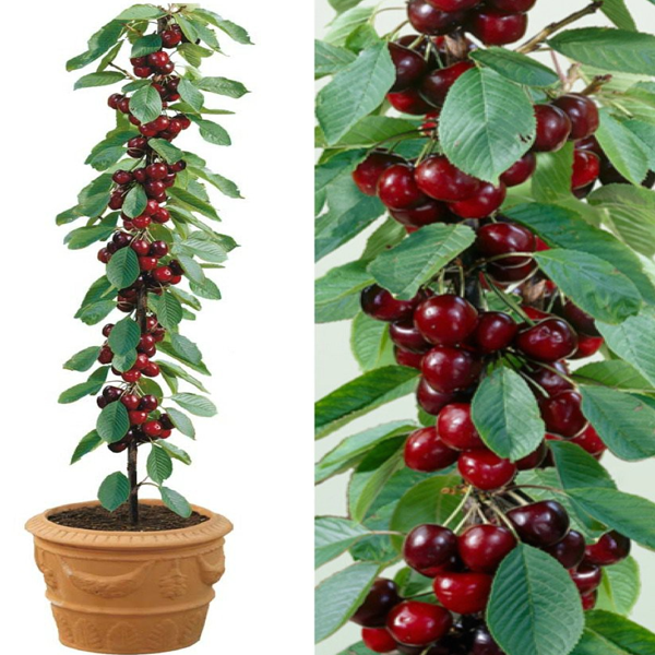 Rainier Cherry Fruit Seeds Bonsai Cherry Tree Potted Trees Tree Seeds