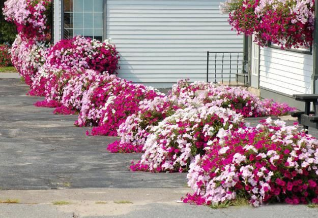 Outdoor Home Decorating With Petunias Waves Of Color Petunias Flower Bed Designs Petunia Flower