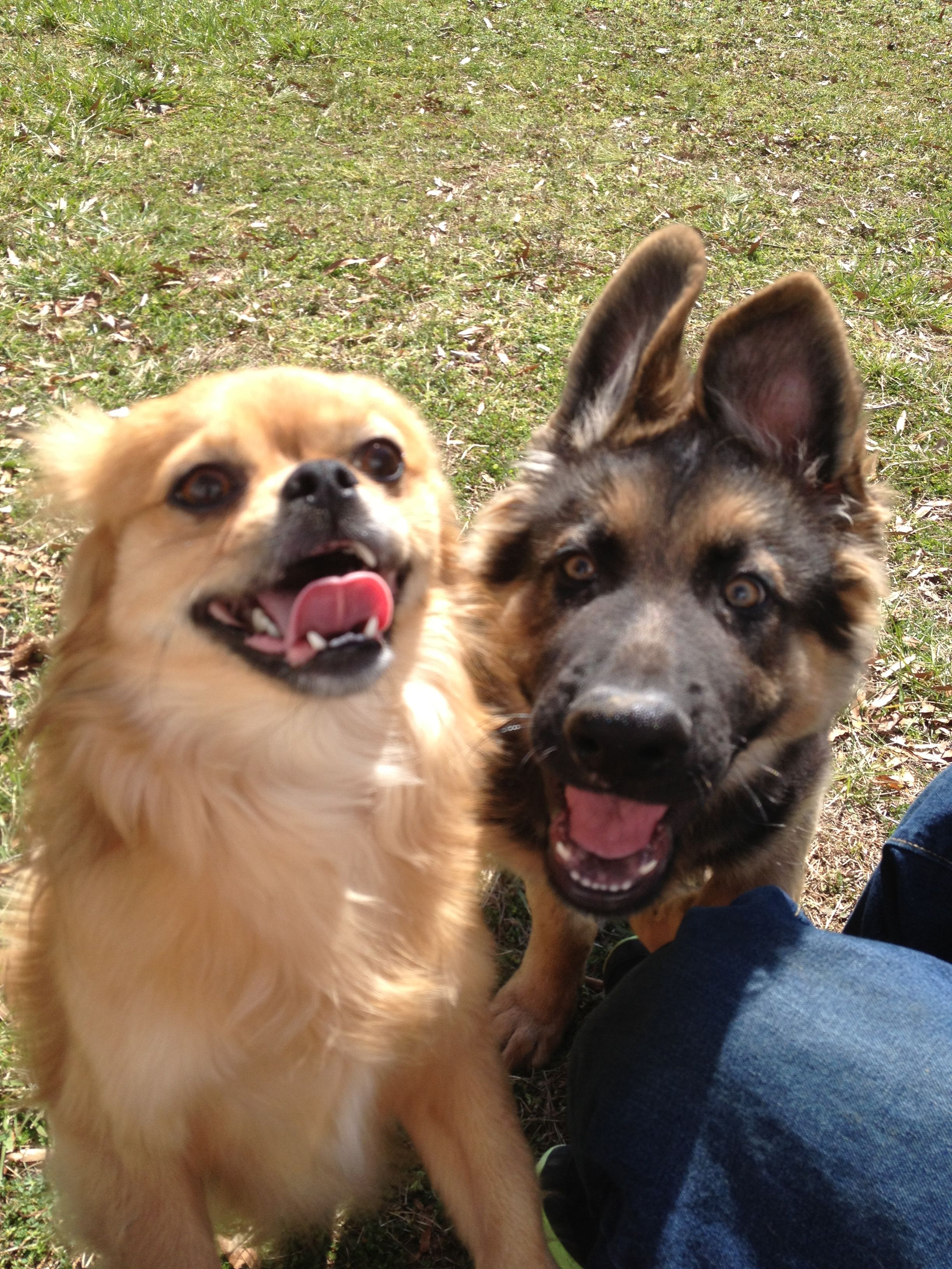 Best Buddies Dexter German Shepherd Dog And Buster Pekingese