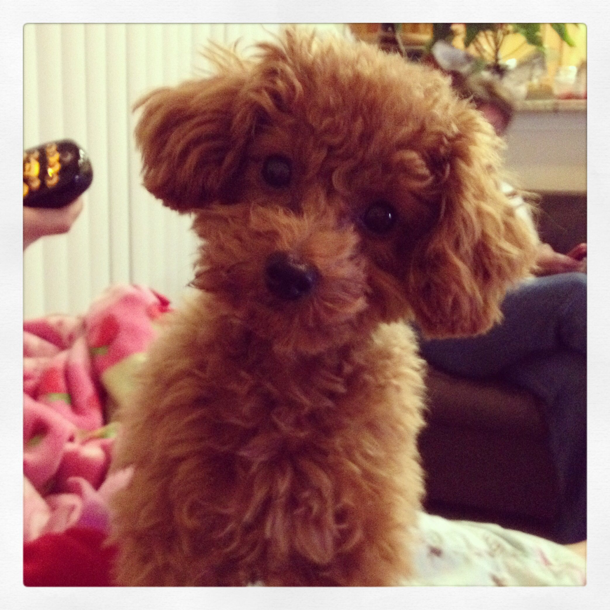 Alfie The Red Toy Poodle 7 Months Old With Images Tea Cup