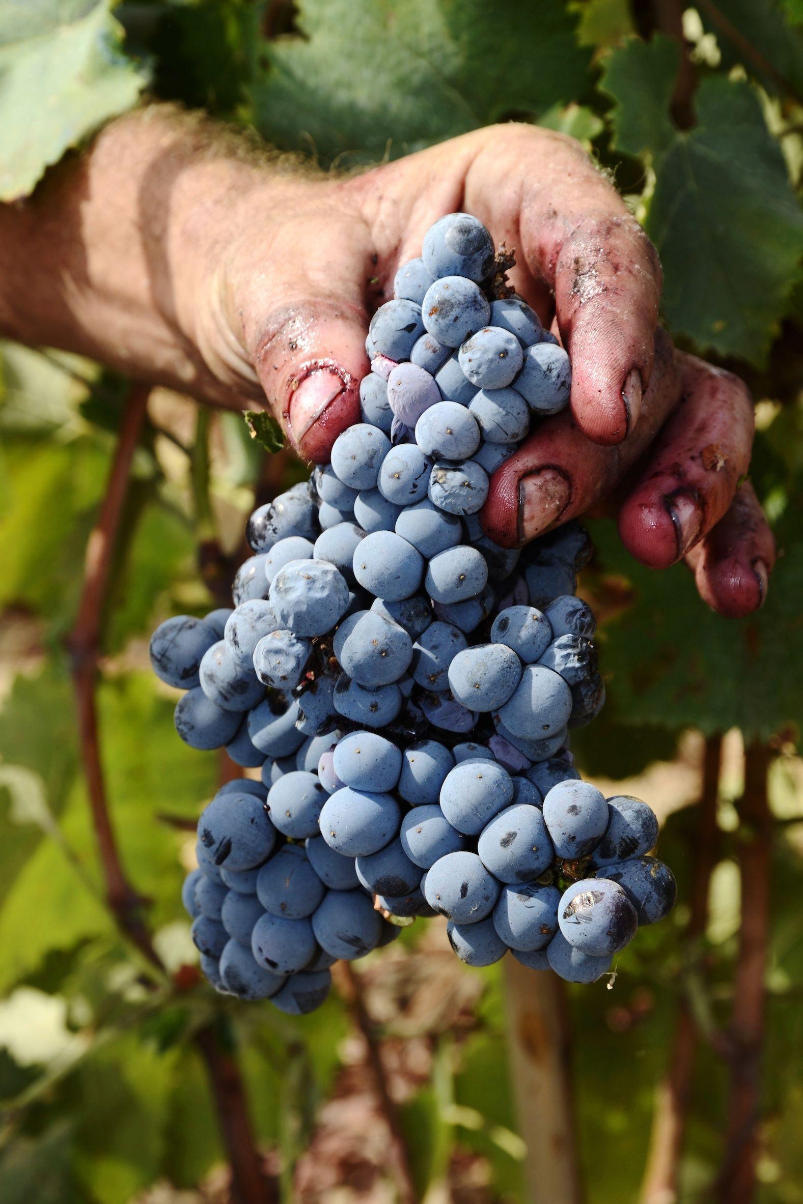 Grapes in Puglia