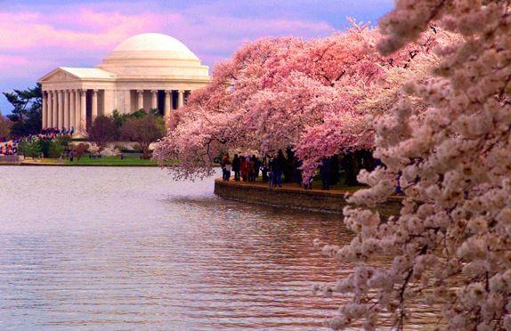 Cherry Blossom Festival Near Thomas Jefferson Memorial Washington Dc Most Beautiful Cities Cherry Blossom Festival Cherry Blossom Festival Dc