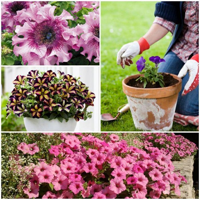 Petunien Schmucken Garten Und Balkon Im Herbst Blumen Pflanzen