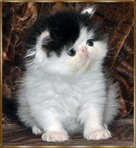 TOY TRICKSY персидские кошки persian cats