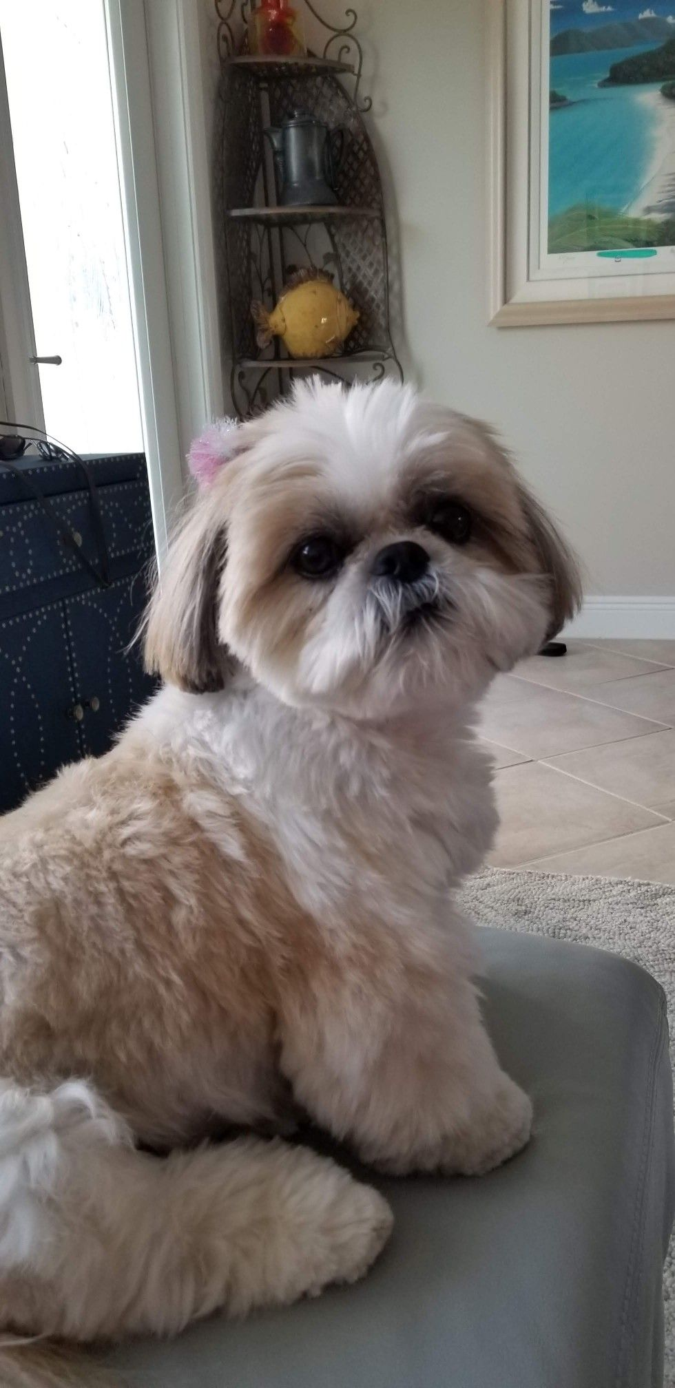 Pin By Sheila Rose Nachtigal On Dadogs Shihtzu Lhasaapso Shih