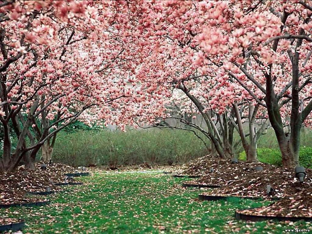 Japan Cherry Blossom Cherry Blossom Wallpaper Blossom Trees Spring Wallpaper