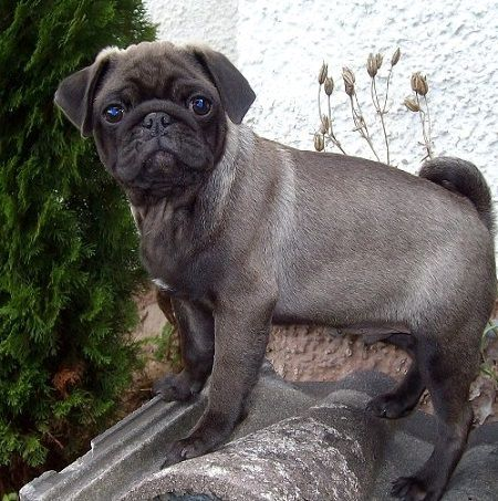 Cute Silver Pug Puppy Pug Puppies Pug Dog