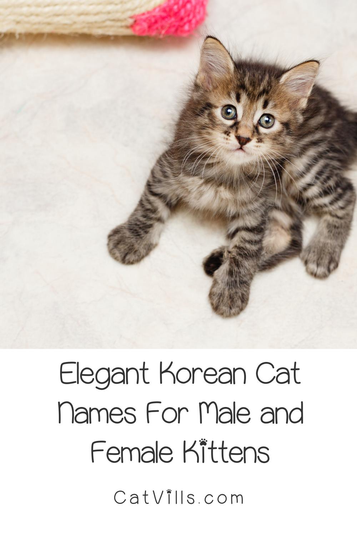 50 Elegant Korean Cat Names for Your New Kitten CatVills