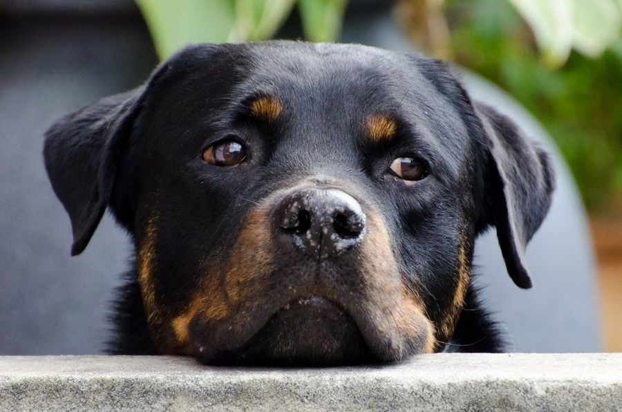 Home New Dog 2019 All About Dog Rottweiler Dog Rottweiler