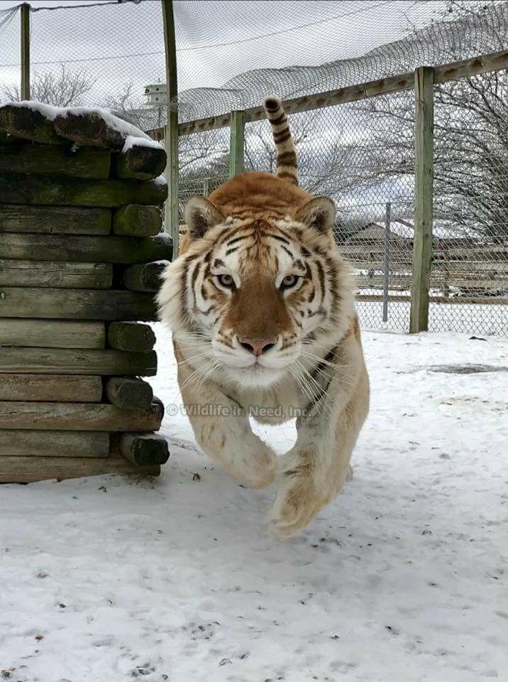 Pin Von Savary Auf Tigres Wilde Tiere Wilde Katzen Grosse Katzen