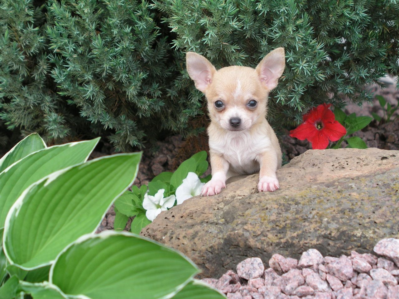 Wilkins Kountry Kennel Chihuahua Puppies Papillon Puppy Chihuahua Love