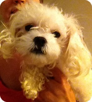 Mckinney Tx Maltese Toy Poodle Mix Meet Perla A Dog For