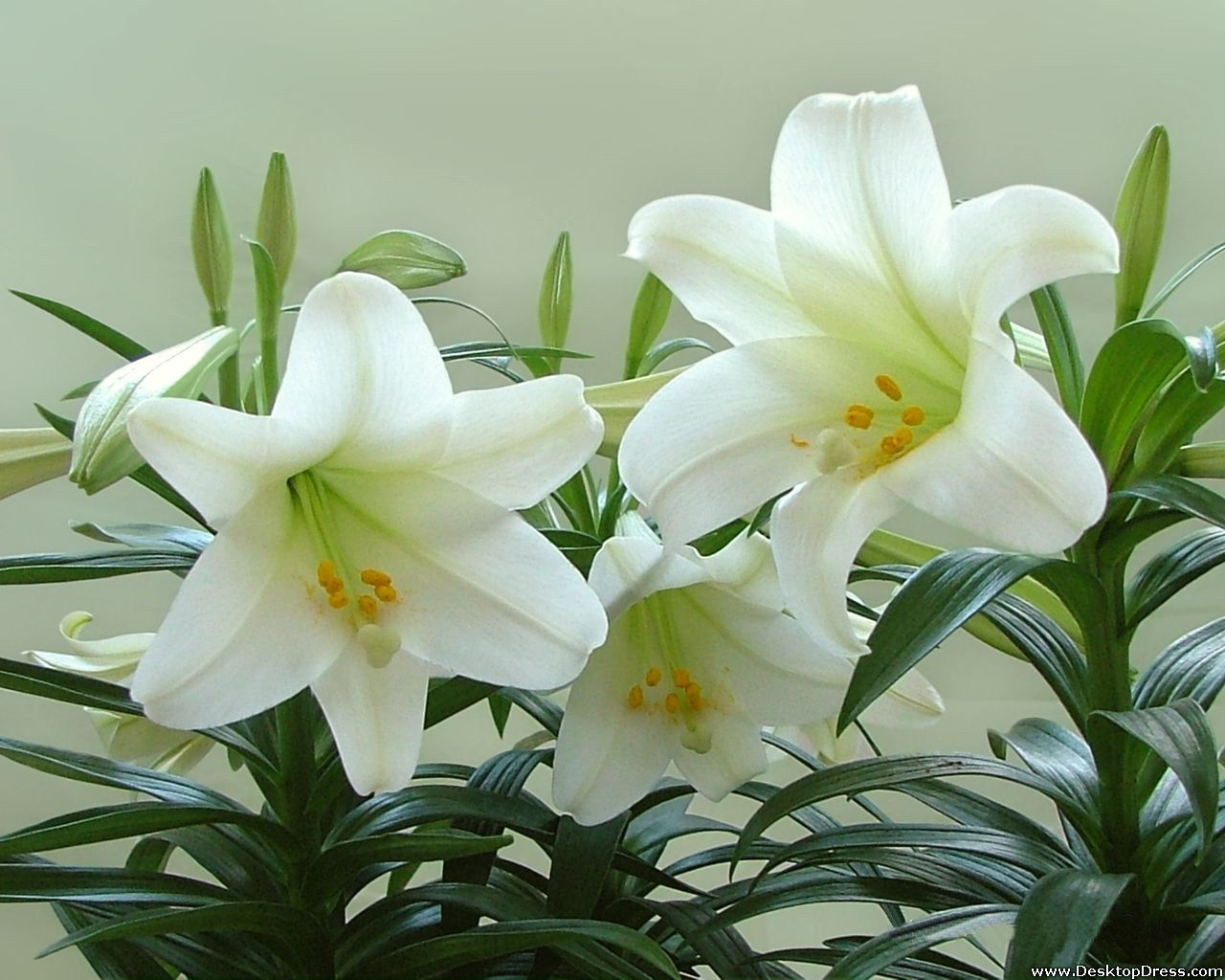 The white lily is a beautiful symbol of the fleur de lis in the planting easter lilies in the flower garden farmers almanac izmirmasajfo Choice Image