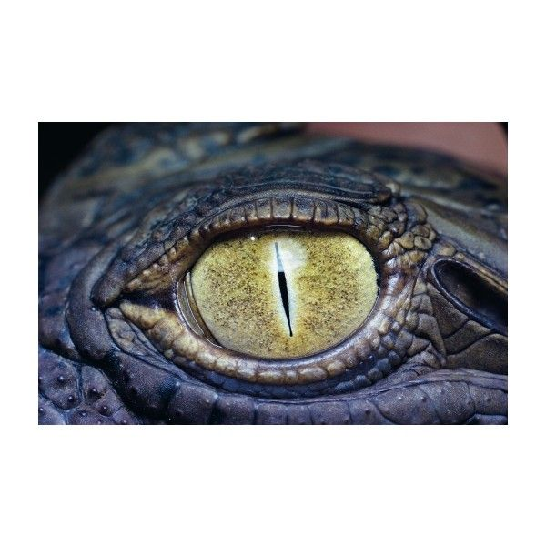 Eye crocodile Wallpaper ❤ liked on Polyvore featuring backgrounds, animals, pictures, medieval and photo's