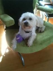 Adopt Mason On Westie Dogs Poodle Mix White Dogs