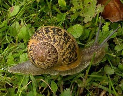 Caracol comun de jardin helix aspersa moluscos for Caracol de jardin