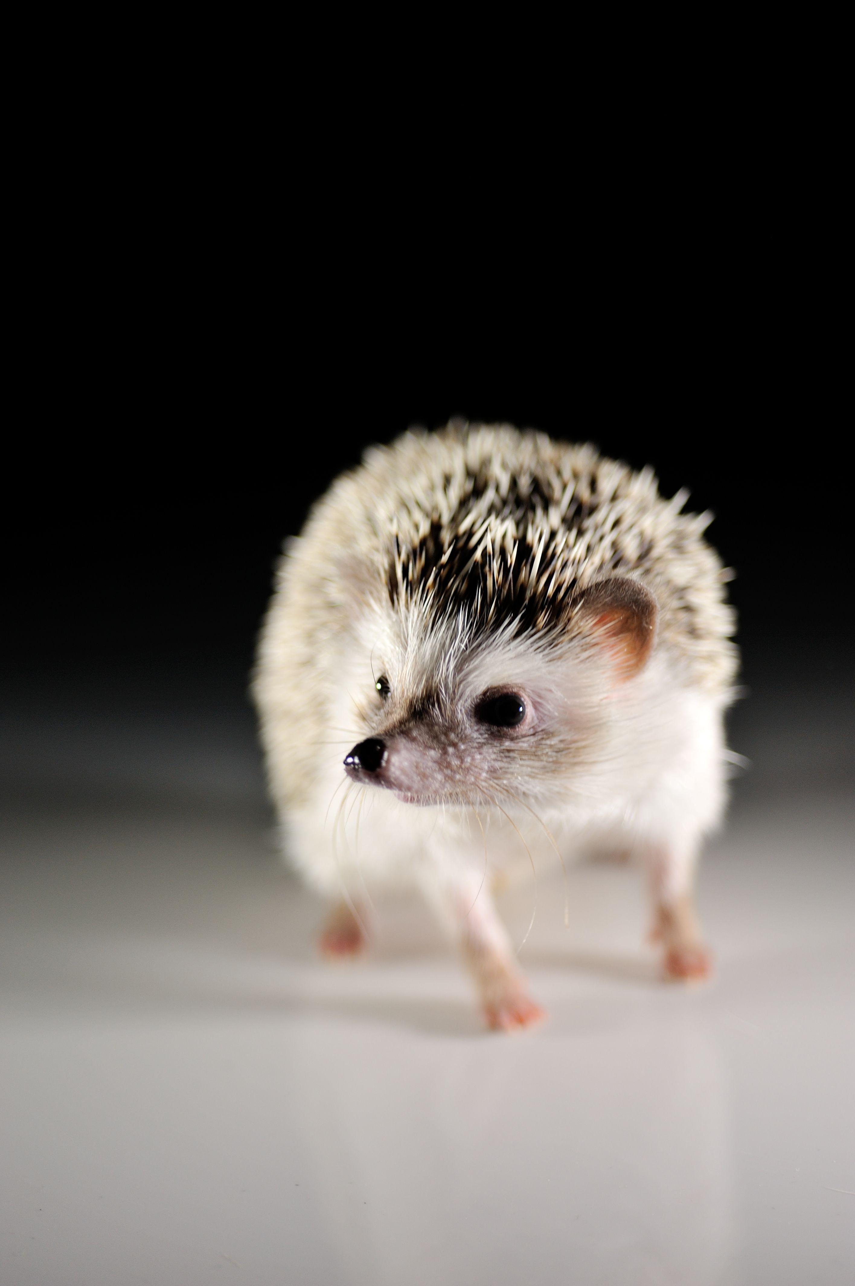 hedghog | Cute hedgehog, Animals and pets, Animals beautiful