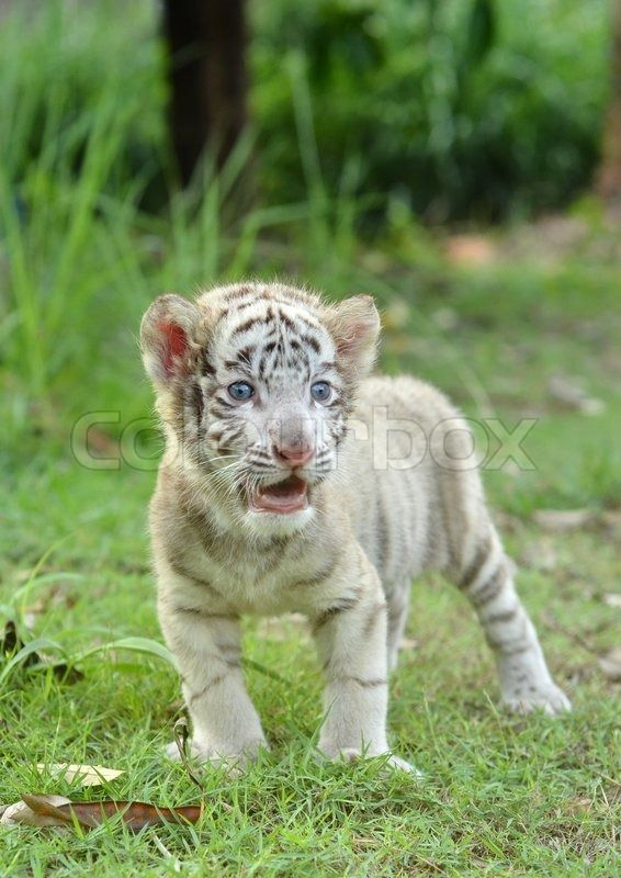 New Born Baby Albino Tiger | Baby White Bengal Tiger ...