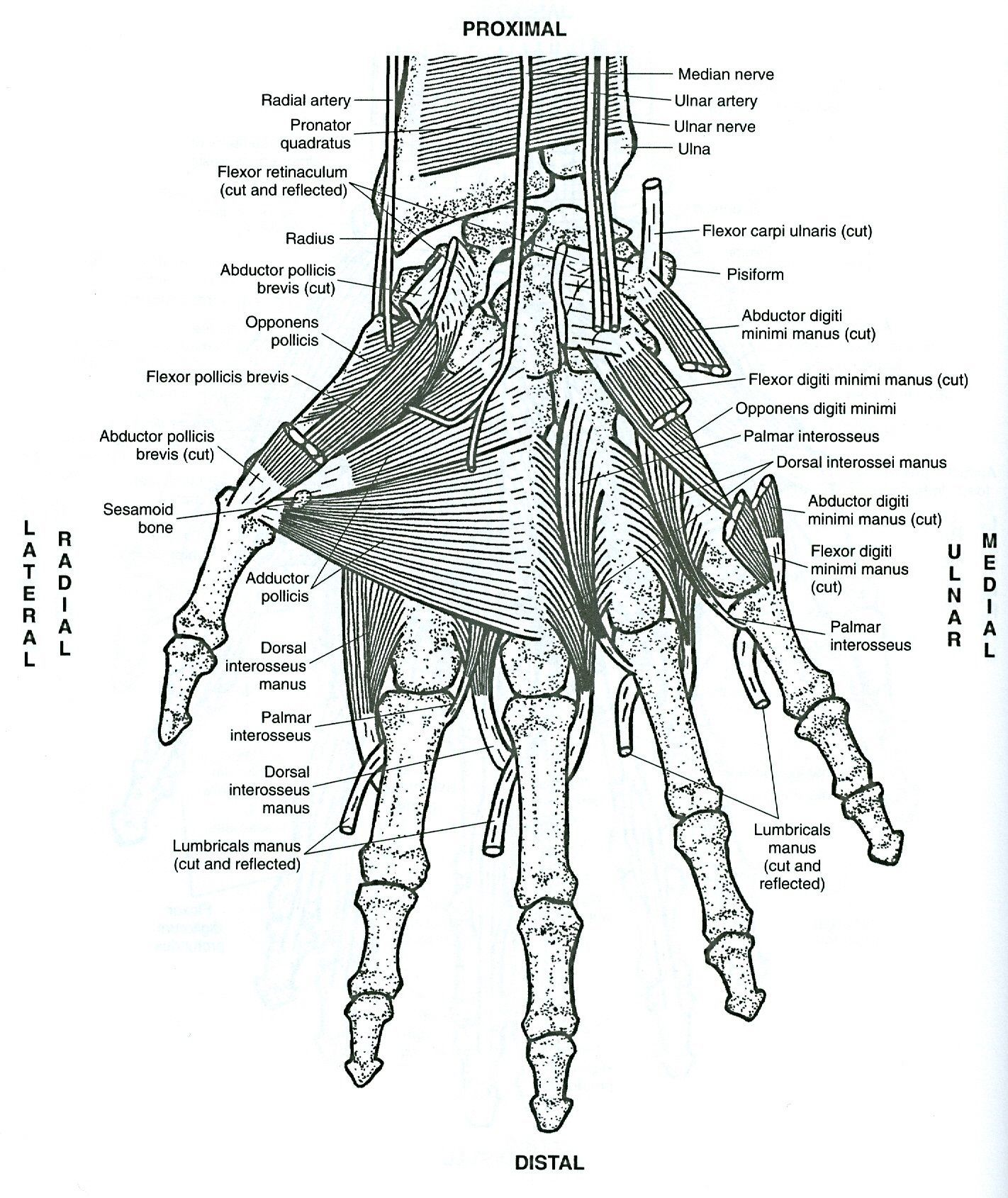 Anatomy Coloring Sheets Hand