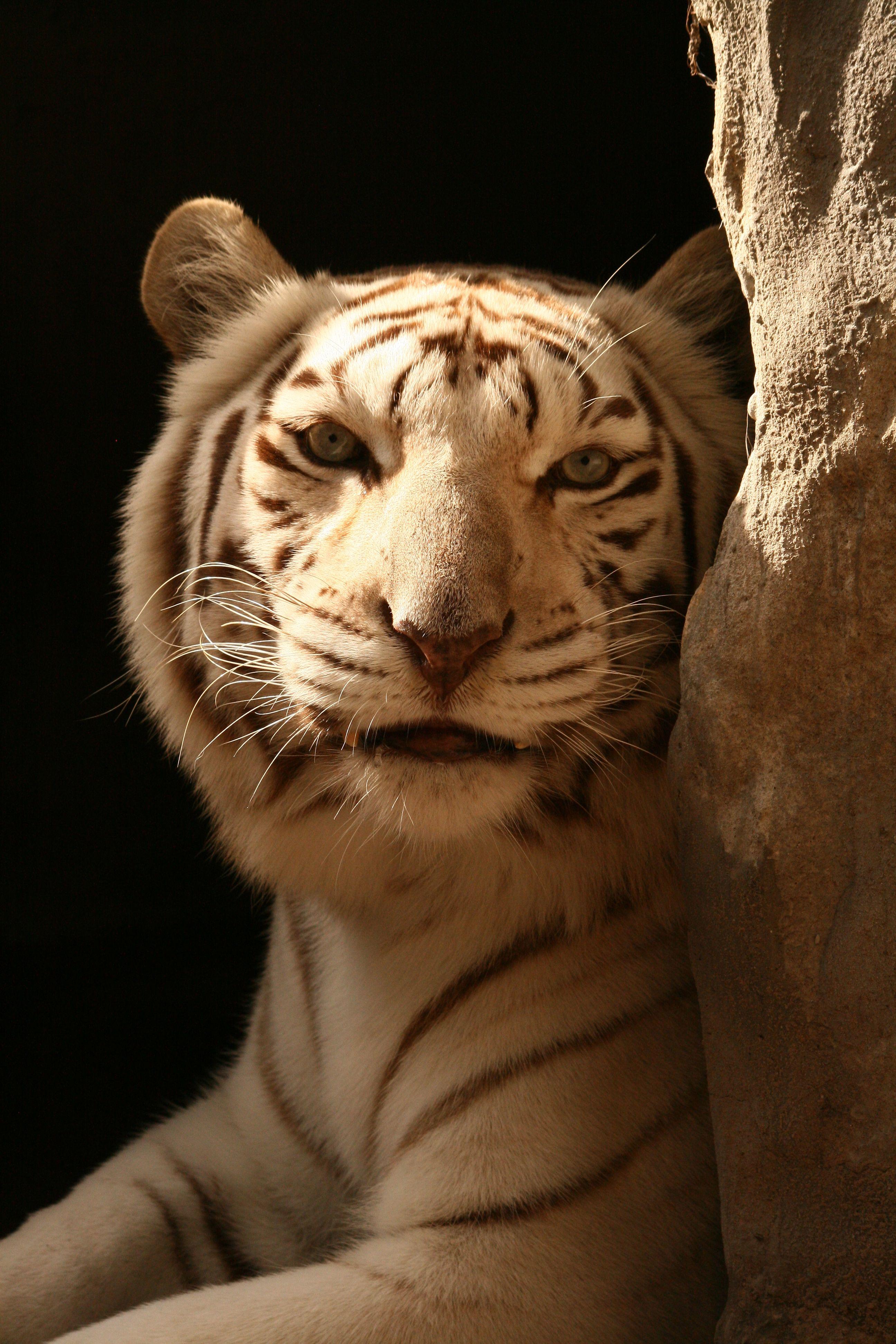 White Tiger. Big Cat Rescue, Tampa, Florida Big cat