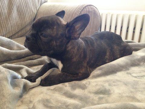 French Bulldog Puppy For Sale In Arlington Va Adn 26746 On