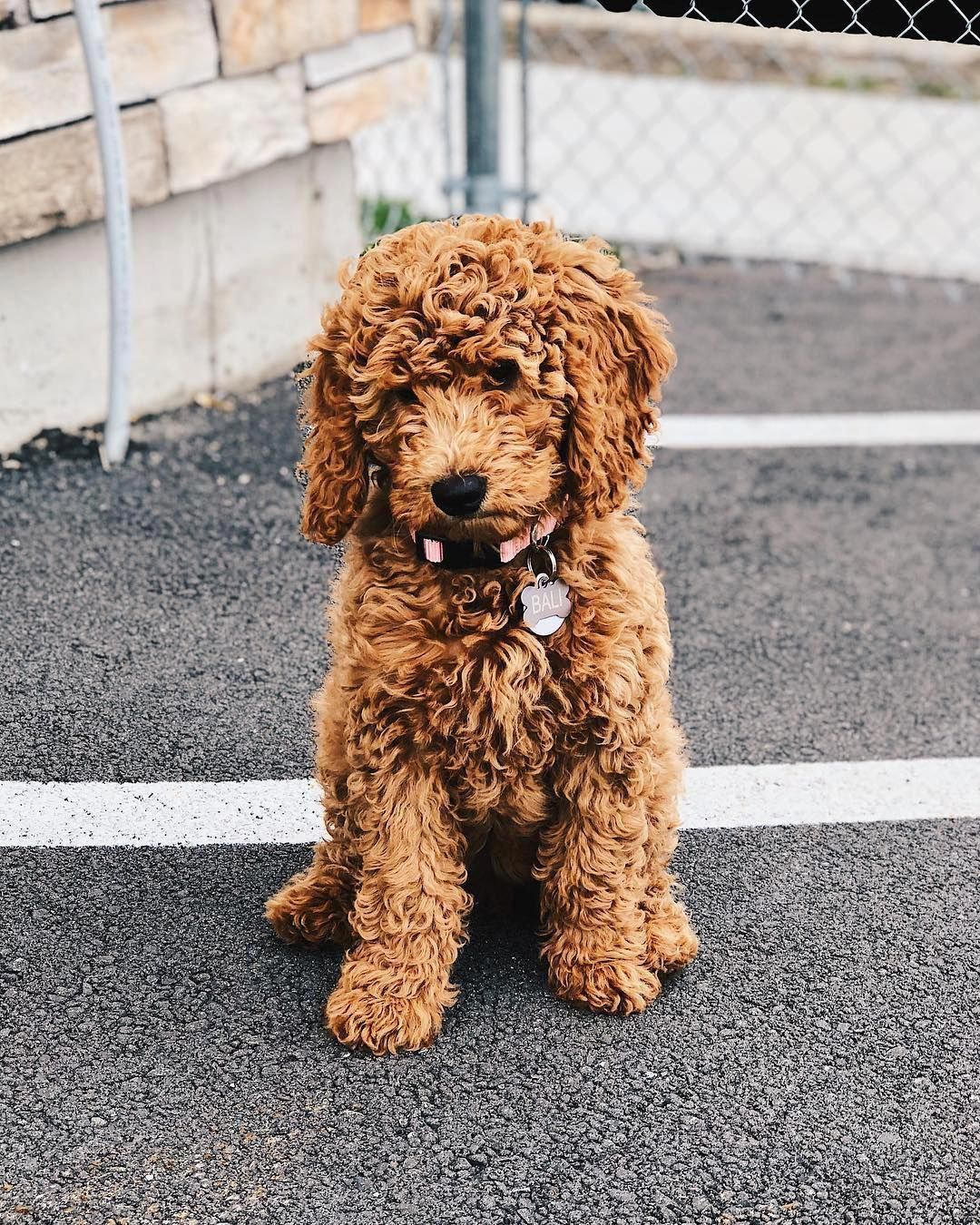 Miniature Goldendoodle Full Grown Miniature Goldendoodle Red