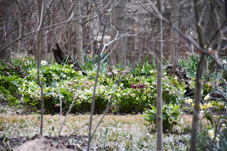 Daffodils For Every Garden Woodland Planting Showcases Daffodils