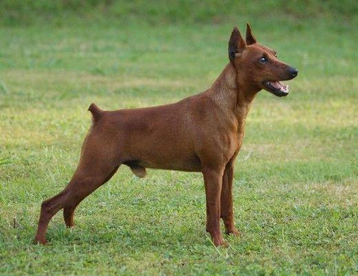 Pinscher Miniatura. En la Alemania del siglo XVIII, los granjeros usaban a unos Pinscher de tamaño reducido para que se pudieran meter por todos los rincones para cazar ratas y ratones. Probablemente este perro sea el resultado del cruce entre Galgos Ingleses y Teckels, sin olvidar el toque de sangre Terrier.