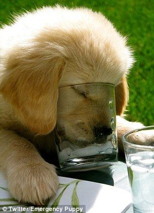 Retriever puppy keeping it cool with ice in a glass...