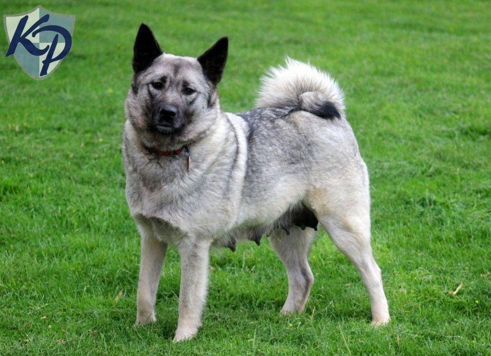 Norwegian Elkhound Puppies For Sale Norwegian elkhound
