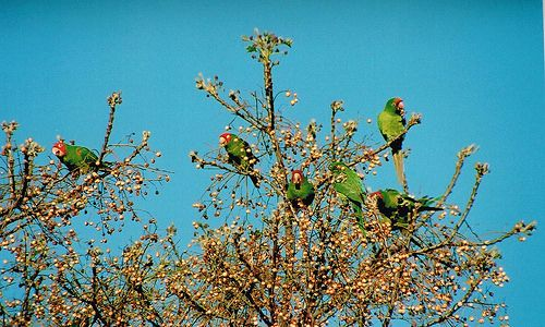 Wild Parrots by northwaygerry, via Flickr