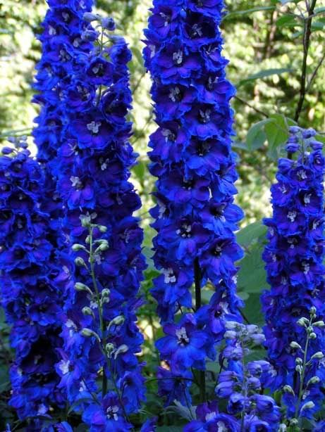 Common Purple Garden Flowers aconitum napellus | gf - aconitum common - name monkshood