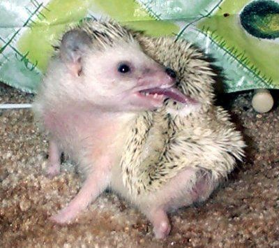My Hedgehog Hates Me Tips For Handling A Hedgie Who Is Disagreeable Hedgehog Pet Hedgehog Care Hedgehog Cage