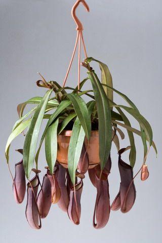 plantes retombantes vos plantes d 39 appartement nepenthes succulents plants pinterest. Black Bedroom Furniture Sets. Home Design Ideas