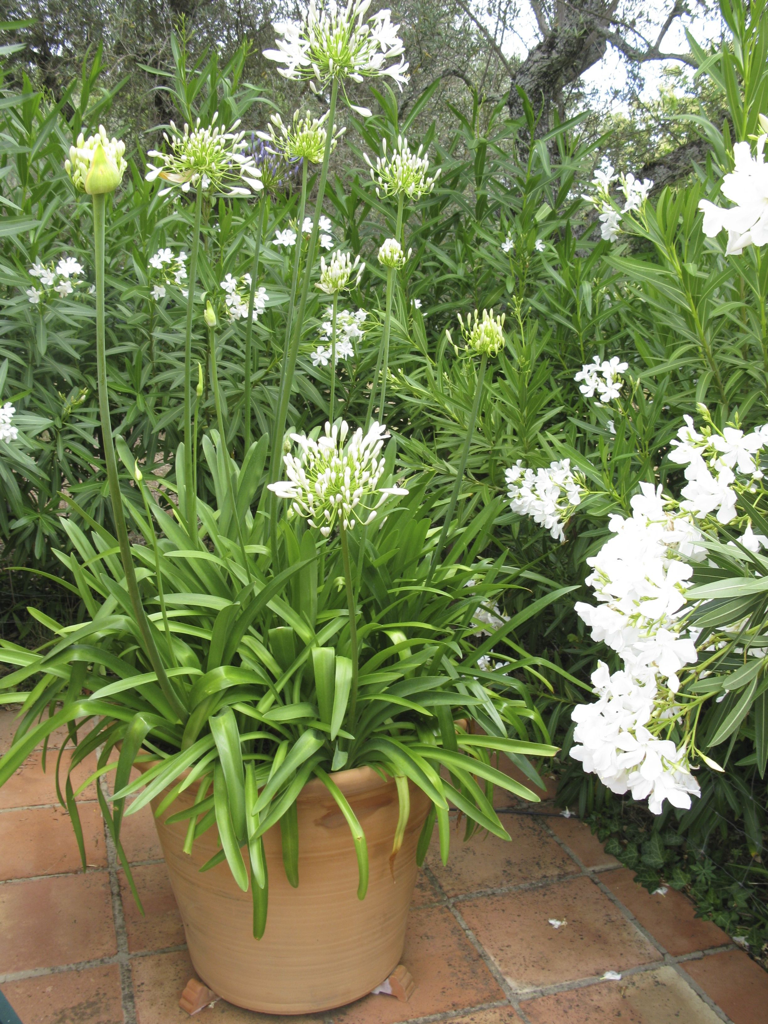 Down By The Pool, A Hedge Of White Oleander Helps
