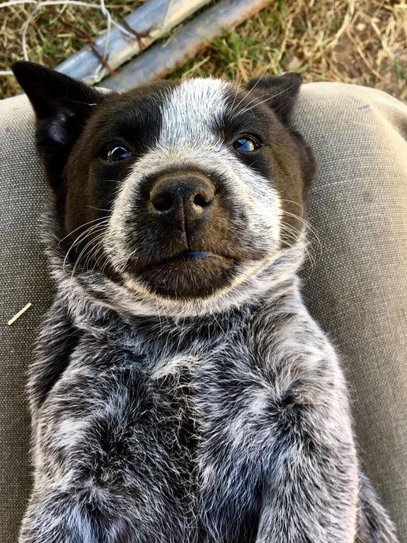 What A Face Australiancattledog Cute Pa Toot Austrailian