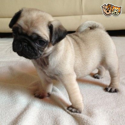 Adorable Kc Registered Pug Puppies Pug Puppies Free Pug Puppies