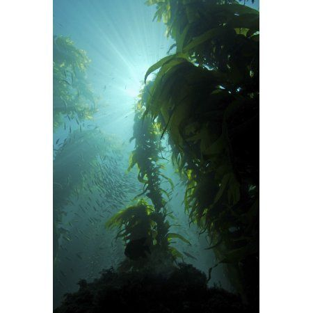 Rays of light shining through a kelp forest Canvas Art - Brent ...