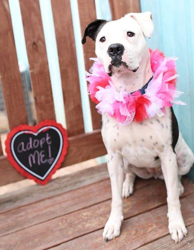 Bulloxer dog for Adoption in Kansas City, MO. ADN781748