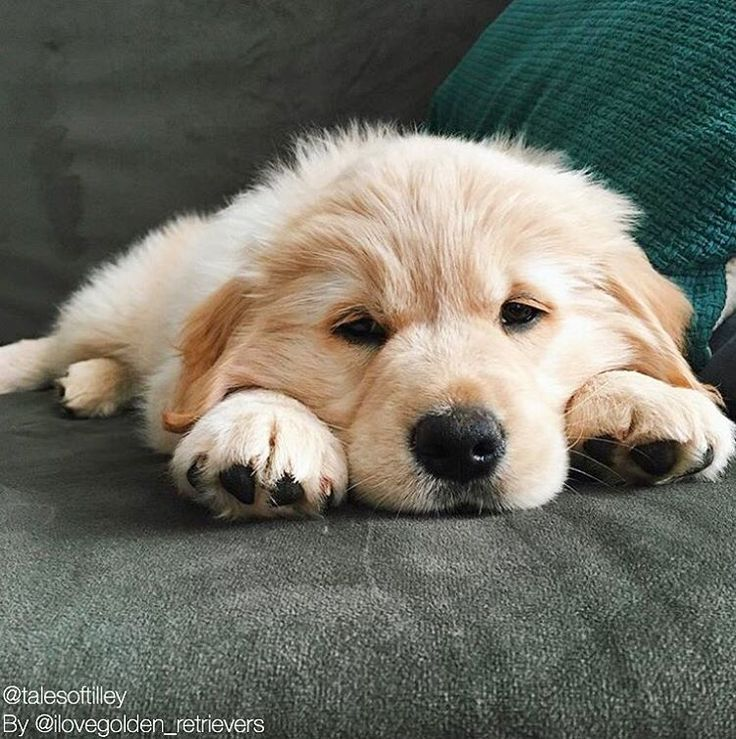 Golden Retriever Noble Loyal Companions Baby Dogs Golden