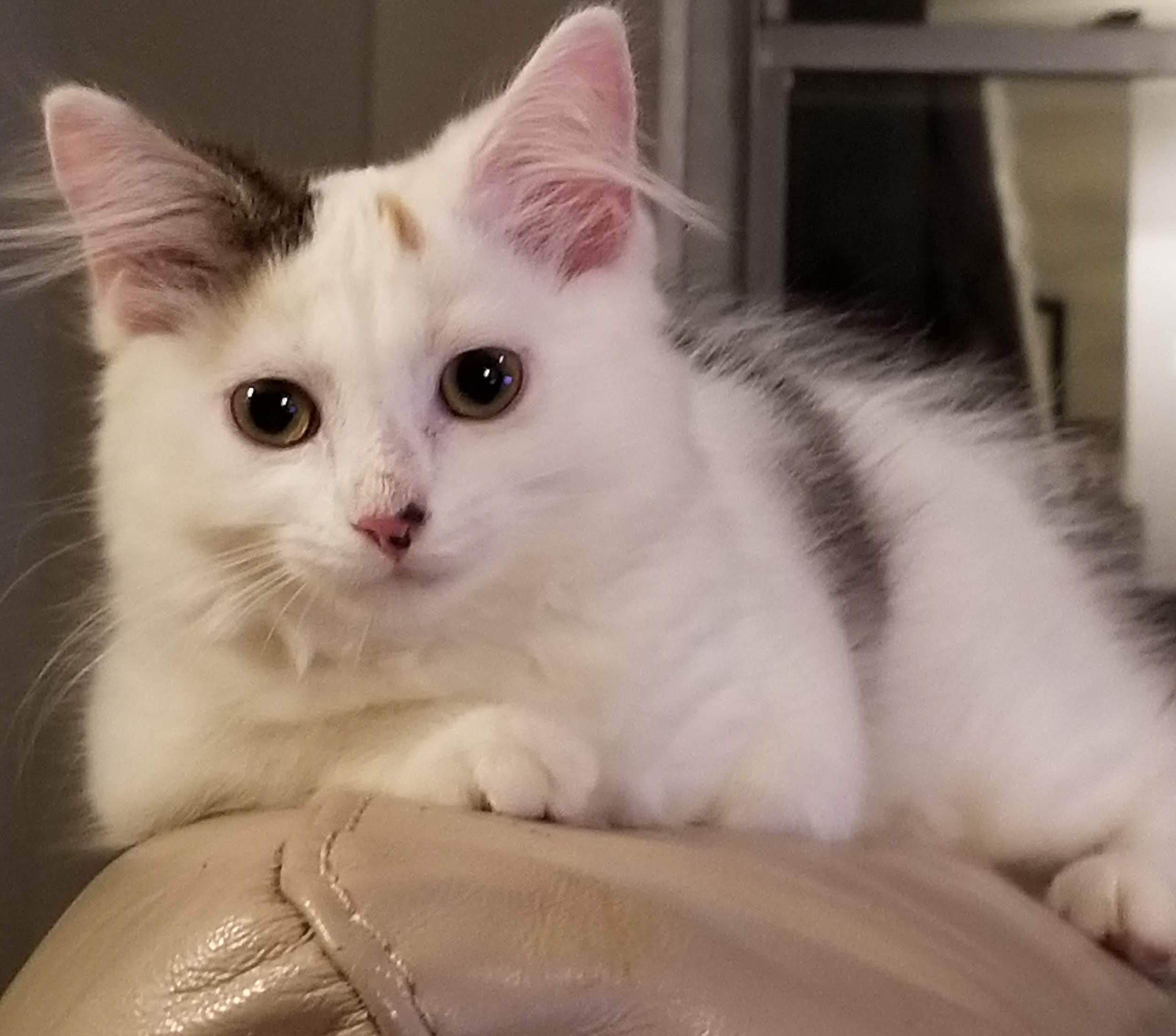 Adopt Nimble On Pet Adoption Adoption Cats