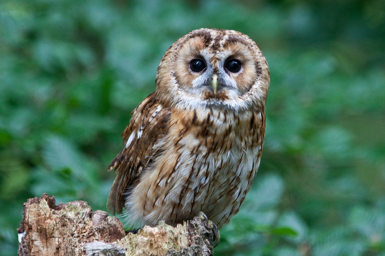 Complete AZ List of Owl Species Owl facts, Owl species, Owl