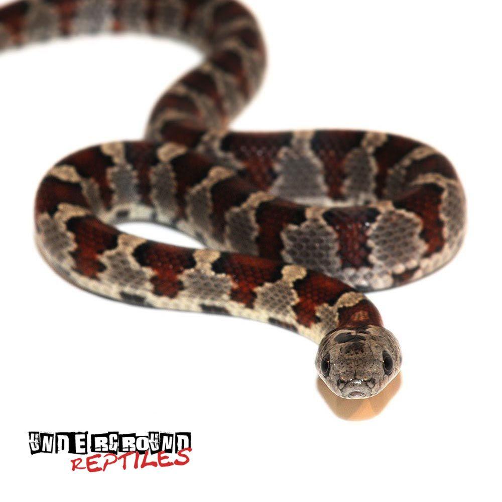 Baby San Luis Potosi Kingsnake Underground Reptiles San Luis Potosi Baby Sans Snake Lovers