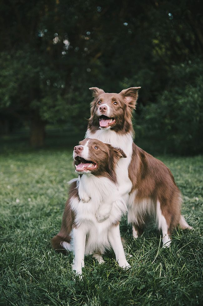 #bordercollie   Clever dog, Border collie, Dog mom