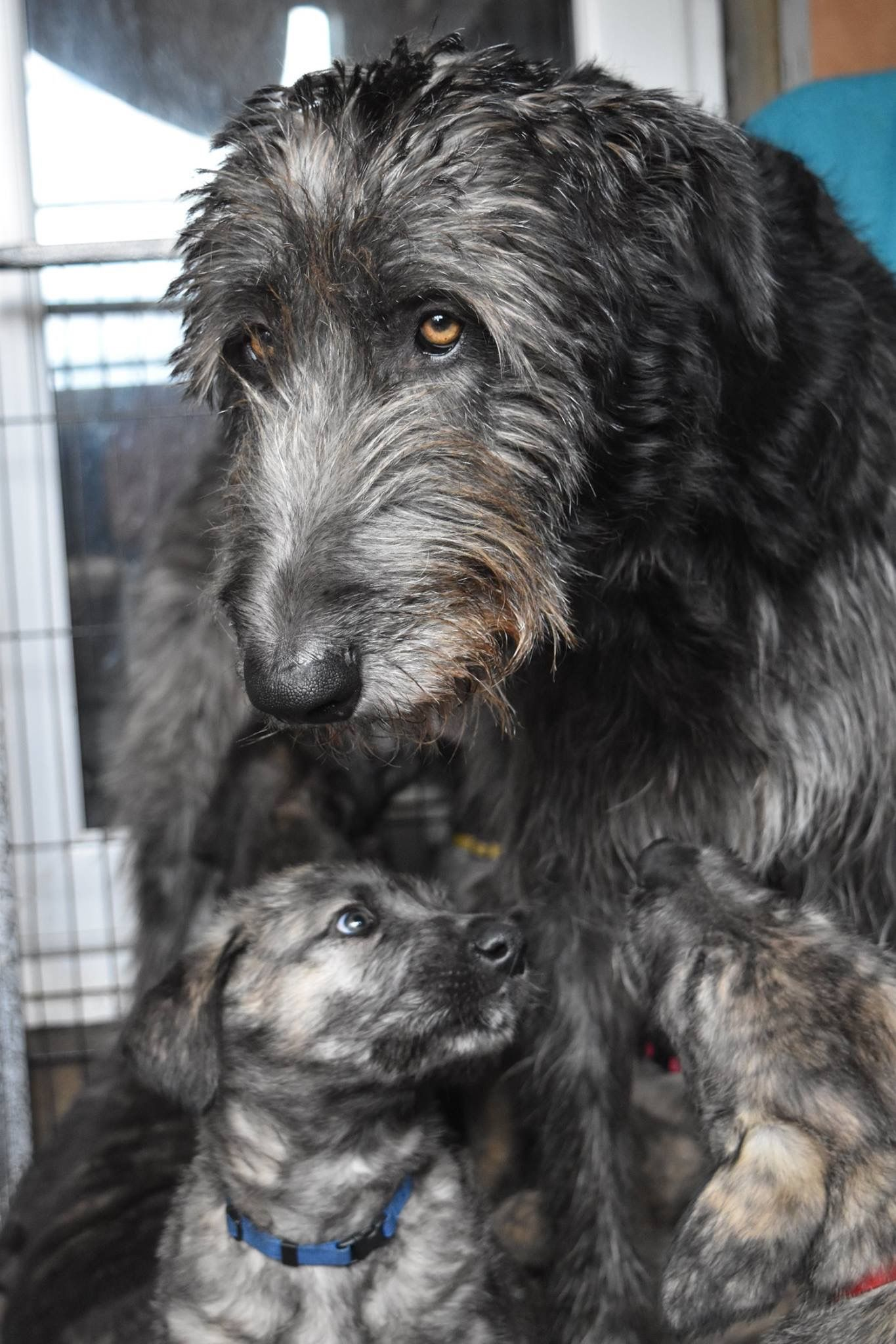 Look at this beautiful family lets call him jack pinterest irish wolfhound mom and pup geenschuldenfo Image collections