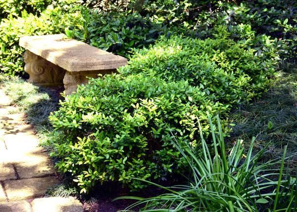 Neil sperry plant shrubs that stay low home garden for Landscaping plants that stay small