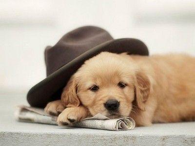 Adorable Golden Retriever Puppy Pet Portraits Photography